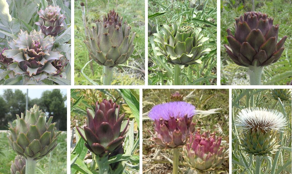 Examples of head morphological variation in the F1 segregant progeny (globe artichoke x cultivated cardoon)