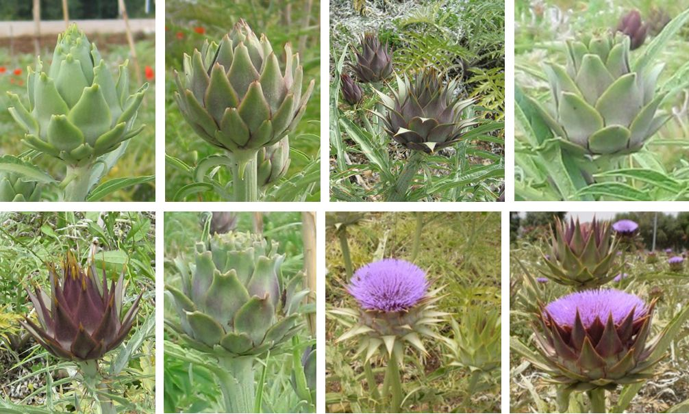 Examples of head morphological variation in the F1 segregant progeny (globe artichoke x wild cardoon)